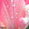 Pink Tulips in the Rain