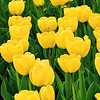 Yellow Tulip Garden