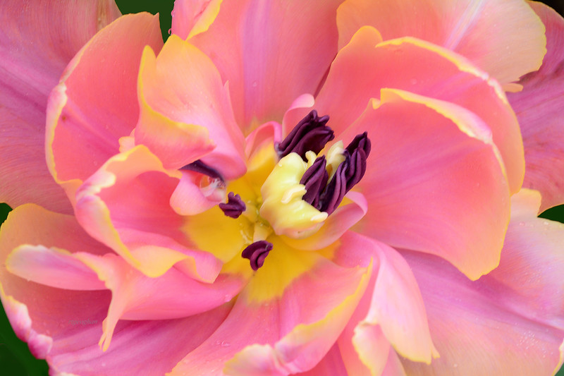Tulip Confection