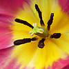 Tulip in Fuchsia Pink and Yellow