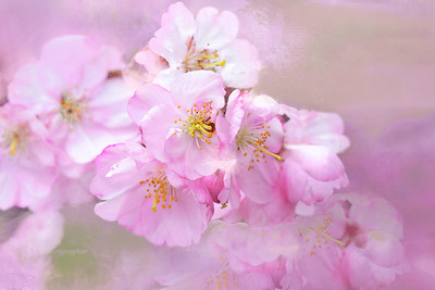 Cherry Blossom Art in Pink