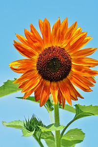 Orange Sunflower Portrait