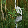 Great Egret and Reflection NJ Meadowlands