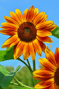 Orange-glow Sunflowers