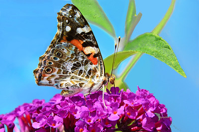 Painted Lady Butterfly on Purple Flower