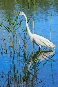 Great Egret and Reflection in Reeds
