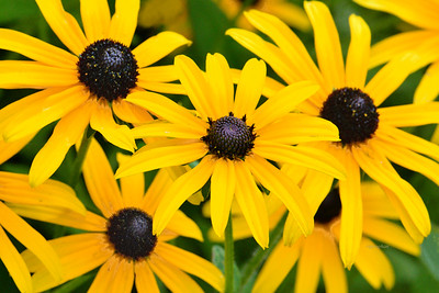 Black-eyed Susan group