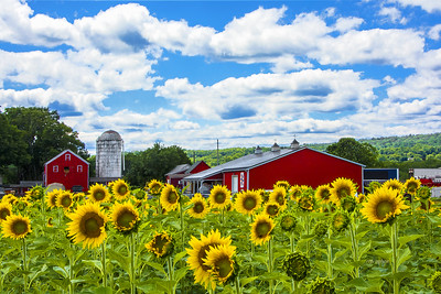 Farm and  Sunflowers