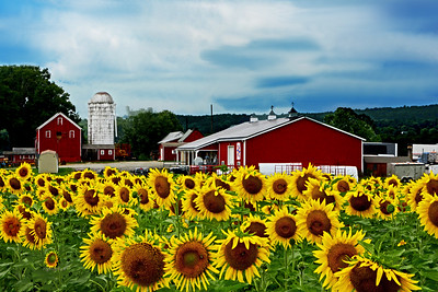 Sunflowers, Farm and Sky