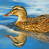 Female Mallard Reflected
