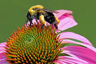 Pollen laden Bee on Purple Coneflower