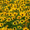 Black-eyed Susan Garden Patch