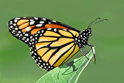 Monarch Butterfly on Milkweed Leaf