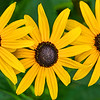 Black-eyed Susan Trio