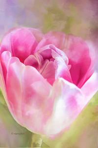 Pink Tulip Art Portrait