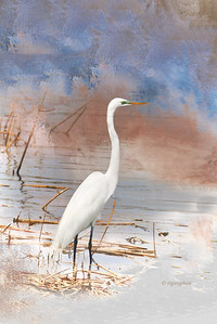 Great Egret - NJ Marshland