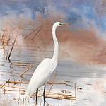 Great Egret - NJ Marshland