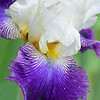 Iris Ittle Dew