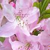 Pastel Pink Azalea
