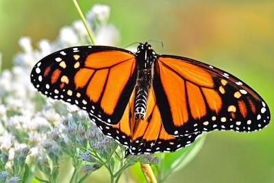 Monarch on Boneset Flower