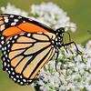 Autumn Monarch butterfly