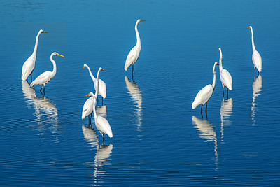 Great Egrets on Blue