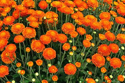 Orange Mums and Buds