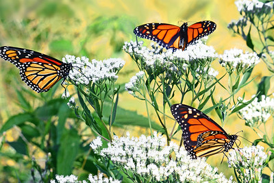 Three MIgrating Monarchs
