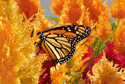 Monarch on Celosia Plumes