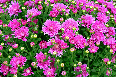 Magenta Mums-Buds and Blooms