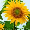 Summer's End Sunflower
