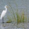 Great Egret-RisingTide