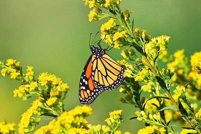 Monarch Butterfly on Goldenrod Plant