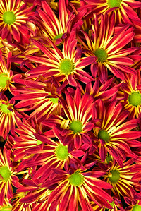 Point Pelee Red and Gold mums