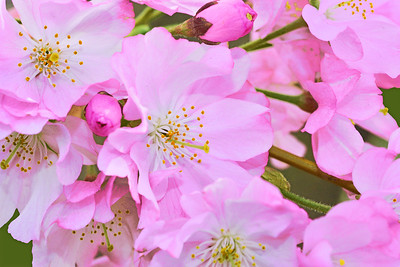 Cherry Blossoms-Pink on Green