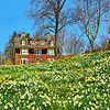 Spring Daffodils at Reeves-Reed Arboretum