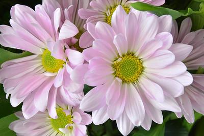 Pink Daisy Mums