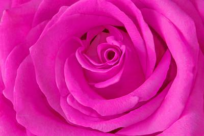 Lushishly Pink Rose
