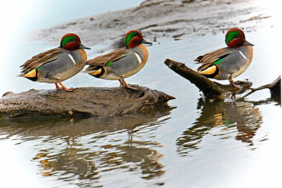 Green-winged Teal Ducks