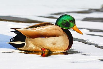 Mallard Drake on Ice