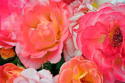 Rainbow of Roses