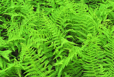 Garden Fern Semi-abstract