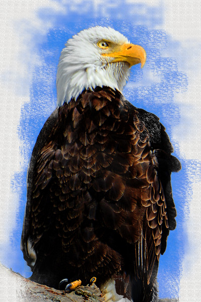 Bald Eagle Textured Portrait