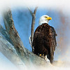 BAld Eagle Majesty