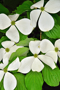 White Dogwood Branches