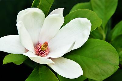 White Magnolia in Bloom