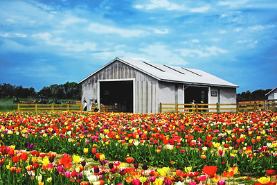 Tulip Cutting Garden and Shed