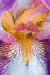 Iris Mount Timp Beauty