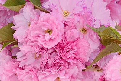 Pink Kwanza Cherry Blossoms