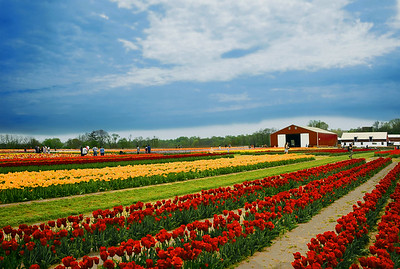 Tulip Festival Fields and Barn